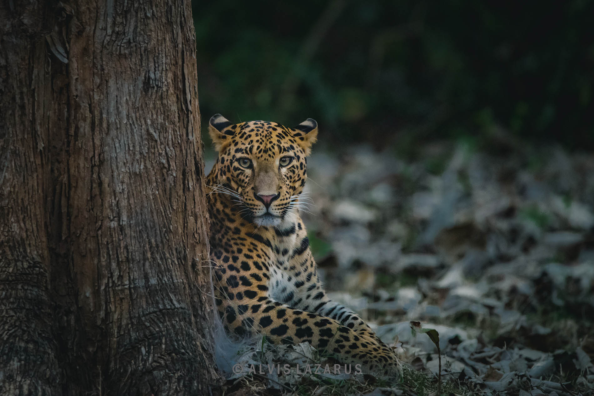 leopard-portrait leopard-on-ground indian-leopard leopard-habitat leopard-picture wildife-photography award-winning-wildlife-photographs